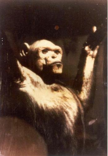 Странный шимпанзе Оливер мог быть гибридом человека и обезьяны  (4 фото)