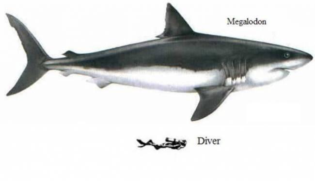 Акула Мегалодон не вымерла (5 фото)