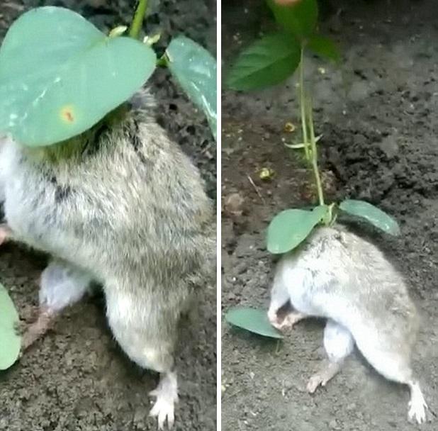 Не фильм ужасов, а невероятная природа: Из тела живой крысы пророс соевый куст