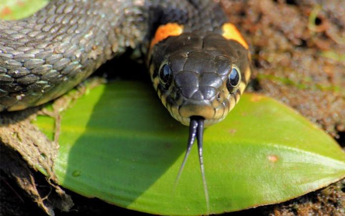 Нападая, змеи жалят По неизвестным причинам, многие люди считают, что змеи жалят своим острым, раздвоенным на конце языком. Змеи кусают зубами, как и все остальные животные. Язык им служит совершенно для других целей.