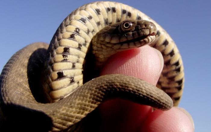 Большинство змей ядовиты Из известных серпентологам двух с половиной тысяч видов змей только 400 обладают ядовитыми зубами. Из них всего 9 встречаются в Европе. Больше всего ядовитых змей в Южной Америке – 72 вида. Остальные практически поровну распределились по Австралии, Центральной Африке,Юго-Восточной Азии, Центральной и Северной Америке.