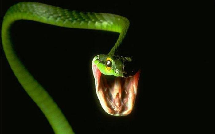 Можно «обезопасить» змею, вырвав ей зубы На какое-то время это действительно может сработать. Но зубы отрастут снова, а змея в период их роста не имея возможности сцеживать яд, может серьезно заболеть. И кстати говоря, змею невозможно надрессировать – для них любой человек не более чем просто теплое дерево.
