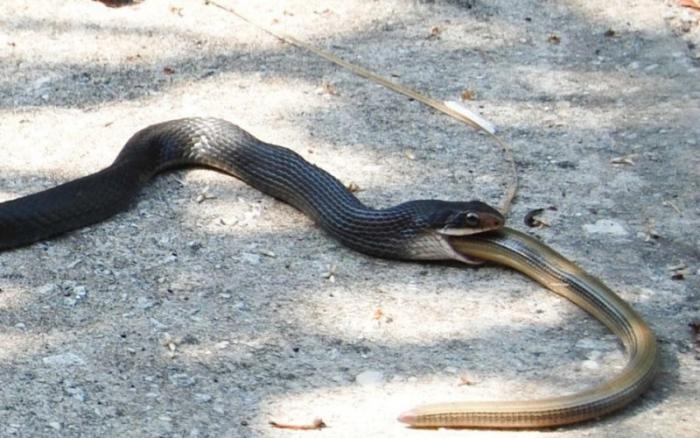 Змей можно кормить мясом Большинство змей питаются грызунами, есть виды, поедающие лягушек и рыбу и даже насекомоядные рептилии. А королевские кобры, например, предпочитают в пищу только змей других видов. Так что, чем именно кормить змею, зависит только от самой змеи.