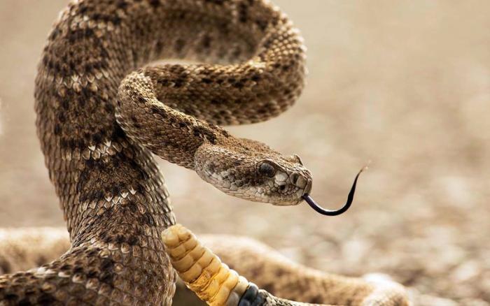 Змеи перед броском, угрожая, высовывают язык Как уже говорилось, язык змеи не предназначен для атаки. Дело в том, что у змей отсутствует нос, и все необходимые рецепторы у них расположены на языке. Поэтому, чтобы лучше учуять запах добычи и определить ее месторасположение, змеям приходится высовывать язык.