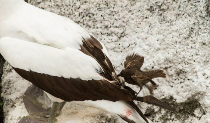 Зяблик-вампир Остроклювый земляной вьюрок получил свое прозвище за кровожадную натуру и отвратительные пищевые привычки. Эта птица встречается на островах Дарвина, где пробавляется кровью других пернатых собратьев. Основной рацион вампира составляет кровь голубоногих олуш: зяблик прокалывает их кожу своим острым клювом и пьет, пока не насытится. Впрочем, олуши находятся со вьюрком в своеобразном симбиозе, позволяя питаться своей кровью взамен за избавление от паразитов, которых выклевывает вампир.