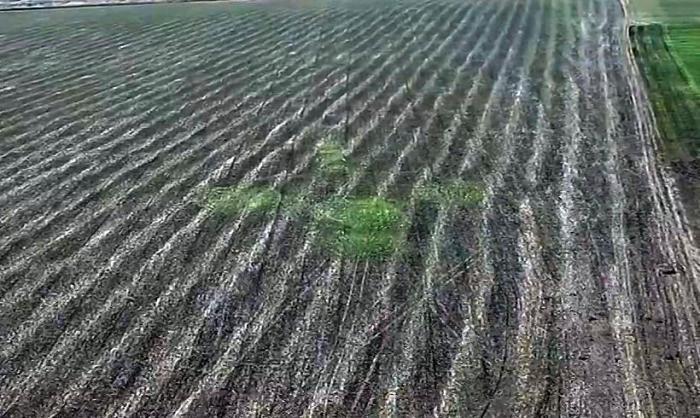 Сенсация: ускоренный рост растений на месте пиктограмм на полях (9 фото + 2 видео)
