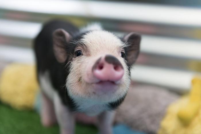 Мочевой пузырь свиньи и выращенные новые пальцы