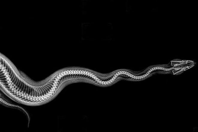 Уникальные рентген снимки животных (6 фото)