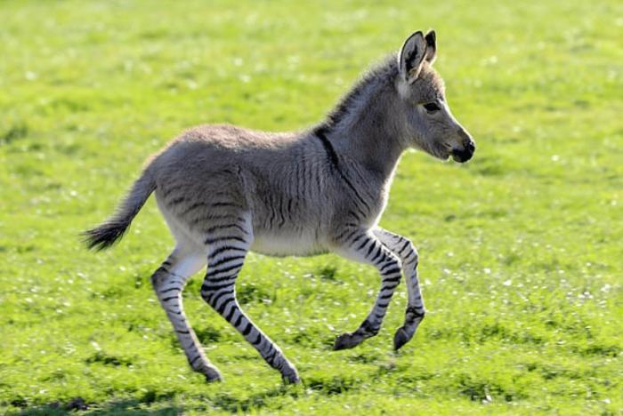 Оказалось, что этот малыш — дитя её зебры Зигги и осла Рэга жеребёнок, животные, зебра, окрас, осел, плод любви