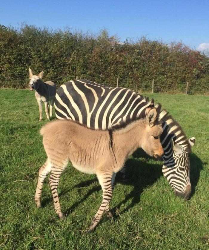 Благодаря стечению обстоятельств на свет появился очаровательный малыш Зиппи жеребёнок, животные, зебра, окрас, осел, плод любви