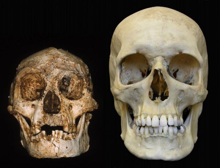 """Череп """"хоббита"""" (слева) и современного человека (справа)"""