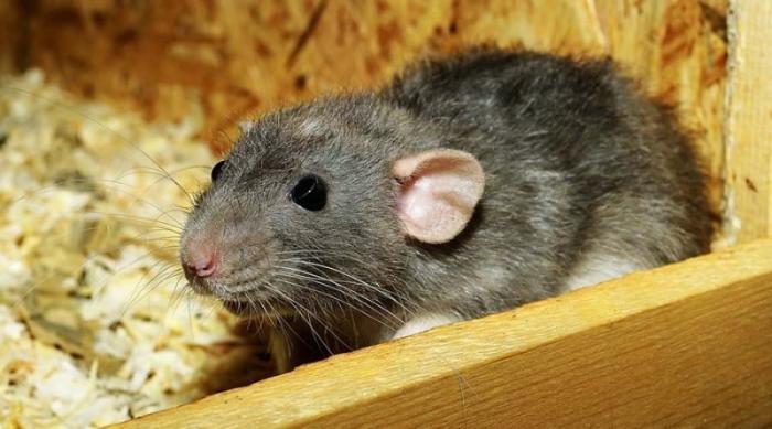 Ученые научились читать мысли крыс и предсказывать, куда они пойдут дальше в мире, исследование, крыса, мысли, мыши, наука, ученые