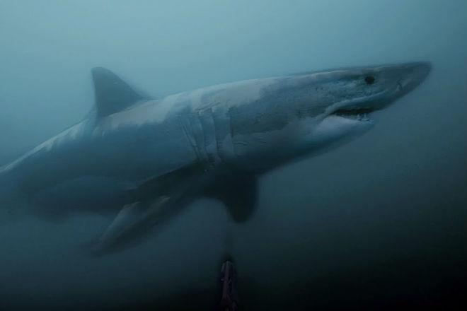 Огромная белая акула внезапно выплыла из темных глубин прямо к дайверу