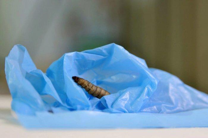 Полезный вредитель — как гусеница гигантской моли спасет планету от полиэтилена (4 фото + видео)