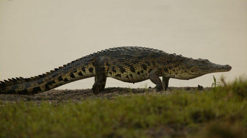 Как живет большой гребнистый крокодил, почему его так называют