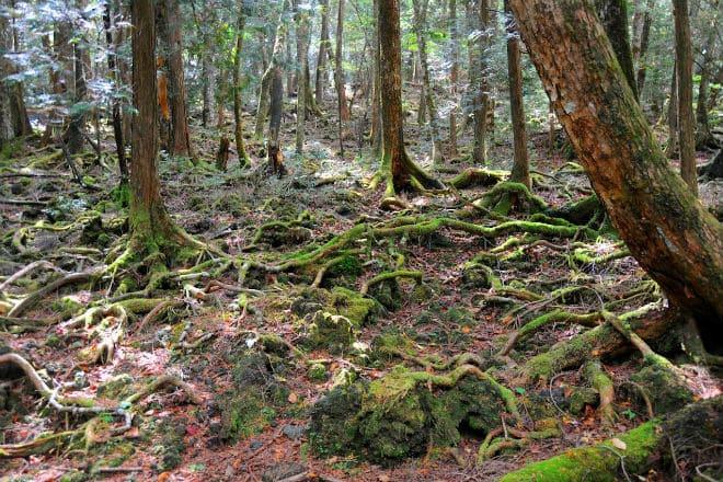 Лес самоубийц Аокигахара в Японии площадью 3000 гектаров