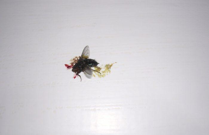 Что у насекомых вместо крови, и что за жёлтая каша вытекает из прихлопнутой мухи?