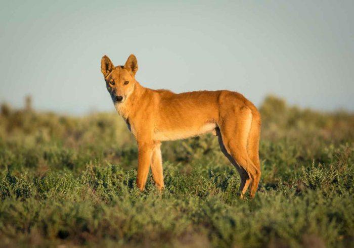 Австралийская собака Динго, хорошей ли друг для человека