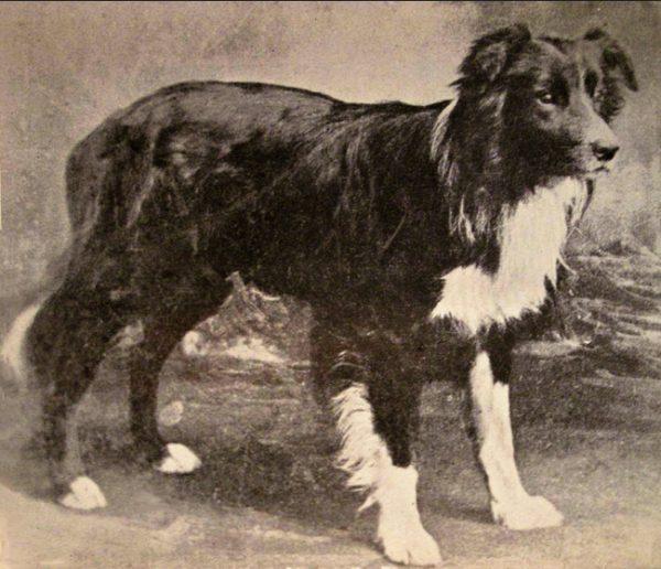 Самая умная собака в мире Бордер Колли, которая может пасти овец
