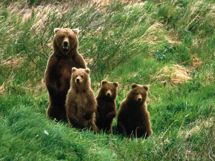 Сонник медведица с медвежатами во сне к чему снится медведица с медвежатами