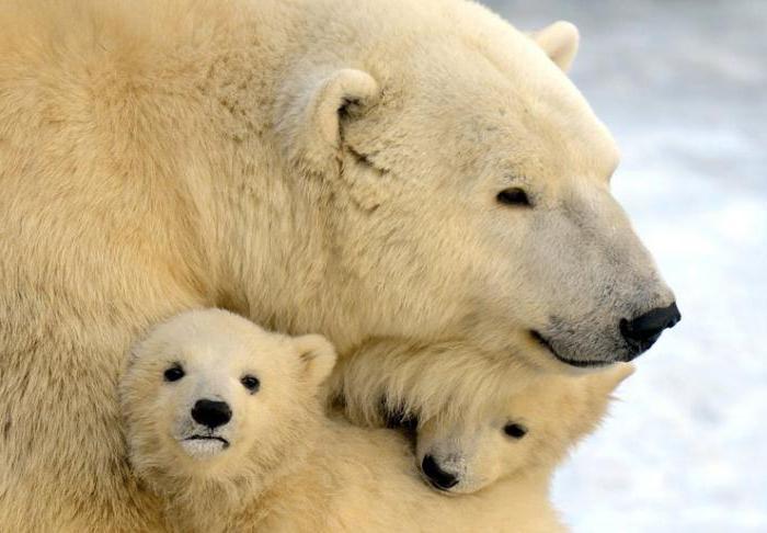 К чему снятся медведица с медвежатами женщине, девушке, мужчине? К чему снится, что медведица спасает медвежонка?