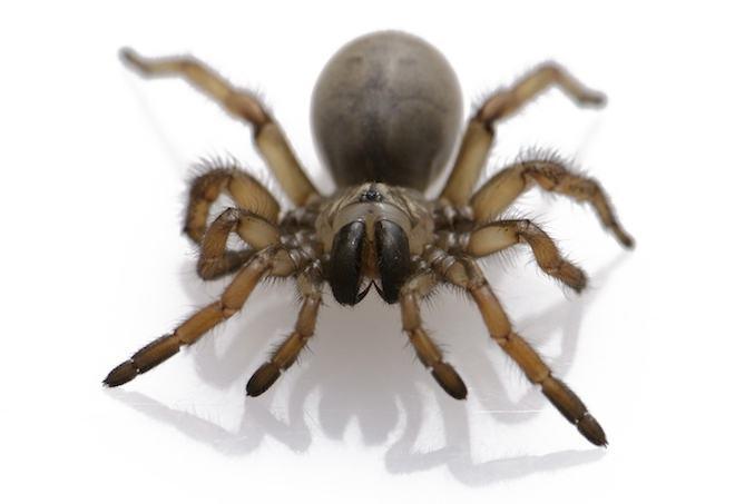 Если снится большой серый паук, это признак того, что кто-то причинил вам боль, и вы не сможете справиться с этим без поддержки ваших близких.