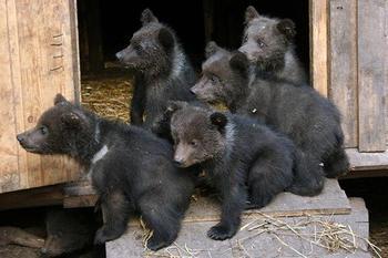 Сонник приснились медвежата