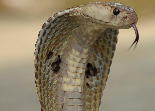Восточный сонник большие змеи