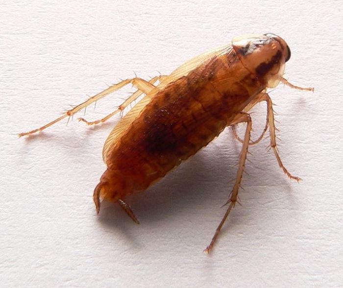 К чему снятся рыжие тараканы много