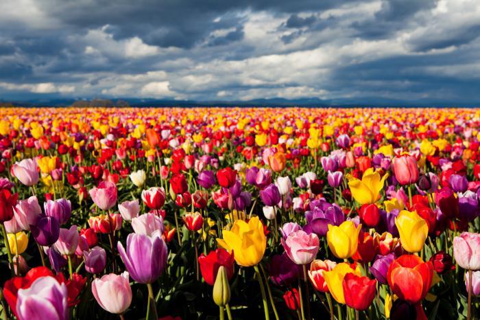 Сонник к чему снятся тюльпаны