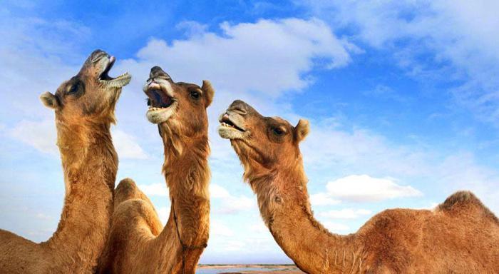 Верблюд: сонник Миллера, мусульманский сонник К чему снятся верблюды?