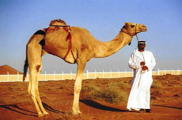 Видеть во сне верблюда мусульманский сонник