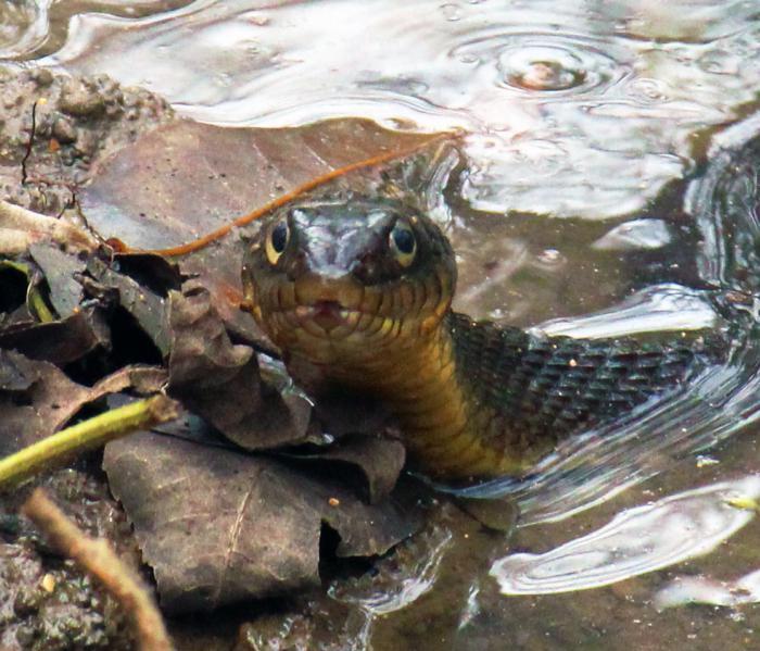 Сонник змея в воде нападает на человека