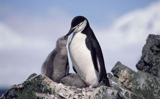 К чему снятся пингвины толкование сонников