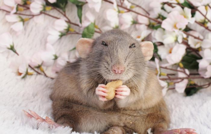 Убивать во сне крыс что означает? К чему снится убить крысу во сне?