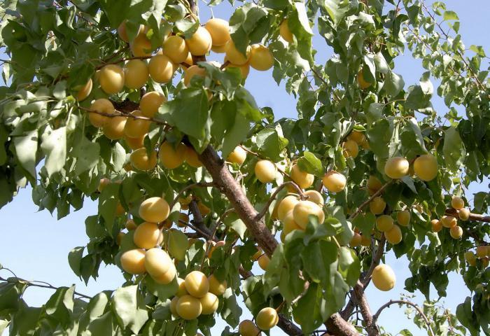 Сонник: абрикос - Значение и толкование сна