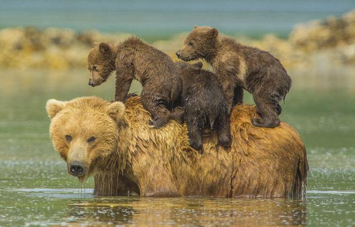 К чему снится убегать от медведя толкование образа известными сонниками