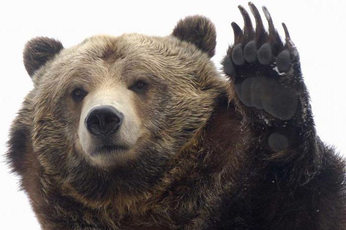 Убегать от медведей во сне - Толкование снов