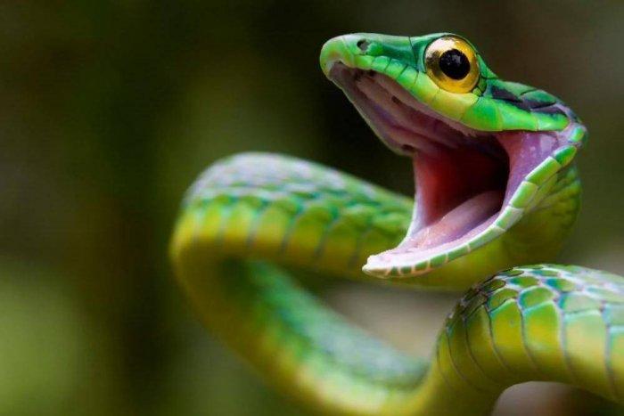 Обоняние 3D — зачем змее раздвоенный язык (3 фото)