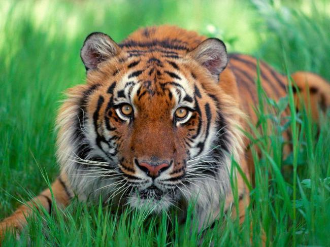 Сексуальность тигра с весами