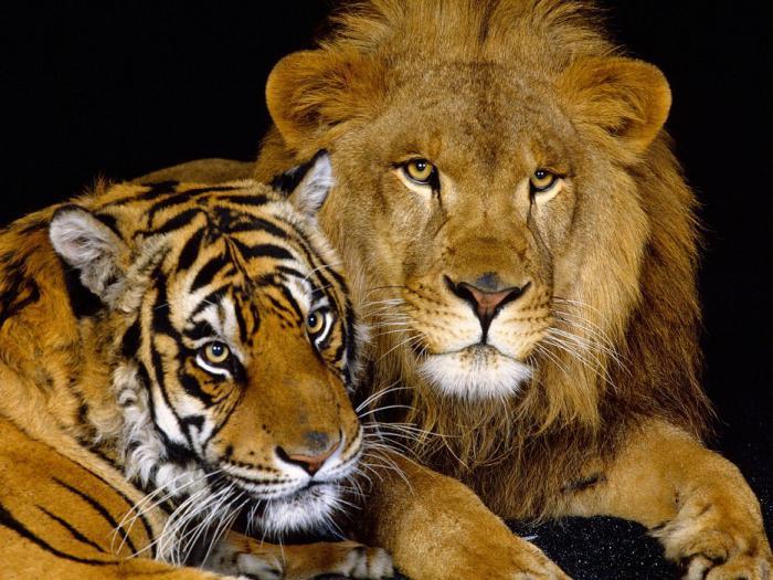 гороскоп тигра льва характеристика