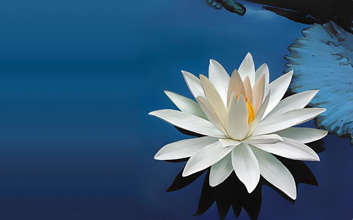Лотос цветок что означает