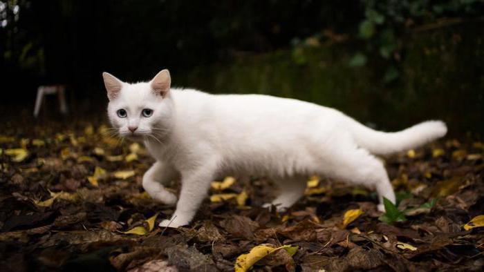 К Чему Сниться Быть Беременной Кошкой