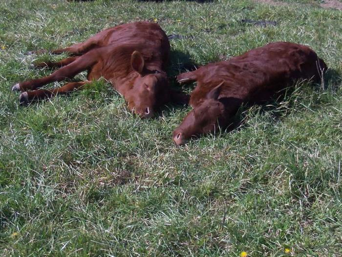 снится на коров пасти к чему лугу