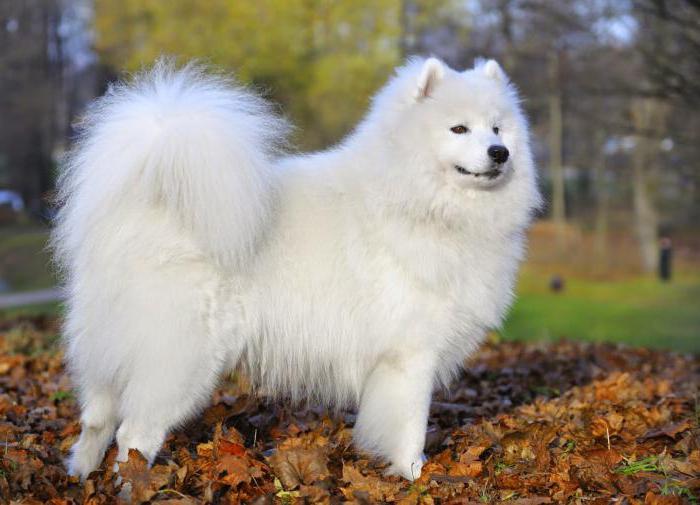 Сонник белая собака фото