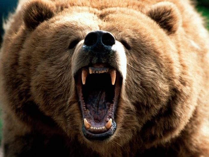 Медведи снятся чему rк