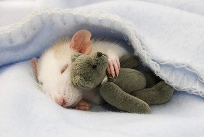 Во сне приснились мыши к чему это