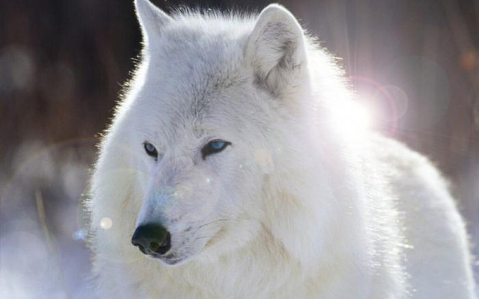 Сонник если снится волки