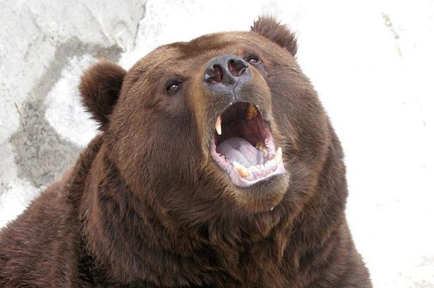 Эолова видеть во сне голову медведя кухне являются достаточно