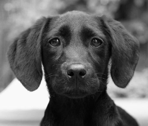 собаки чёрные фото